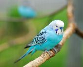 foto of parakeet  - blue budgie parrot pet bird also known as Budgerigar Melopsittacus - JPG