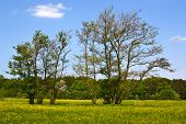picture of alder-tree  - Old alder trees in the springtime in Hertenkamp - JPG