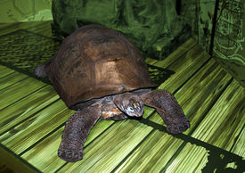 picture of the hare tortoise  - large turtle on green background with beautiful gold testaceous - JPG