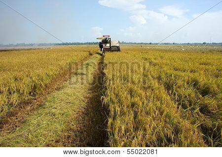 Farmer Harvest Rice By Combine Harvester