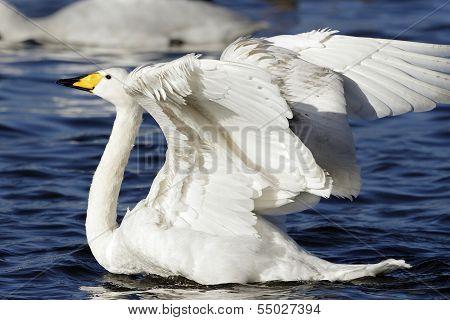 An adult Whooper Swan(Cygnus cygnus).