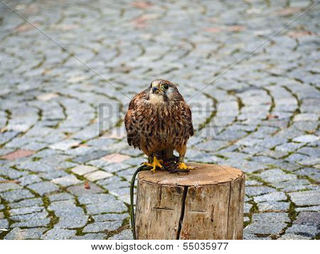 Falco tinnunculus (Postolka obecna) Bird of prey