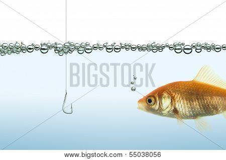 goldfish watching a hook