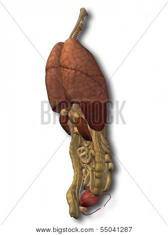 3D human or man internal abdominal or thorax organs for anatomy or health designs. An illustration isolated on white background