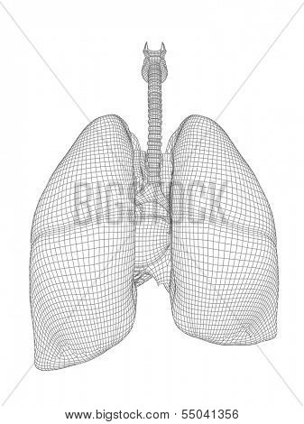 Concept or conceptual anatomical human man 3D wireframe mesh respiratory system  with lungs isolated on white background