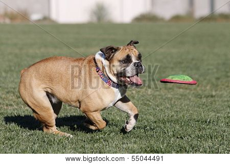 Bulldog at the park about to catch a disk