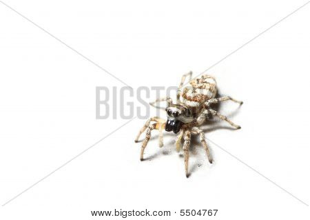 Zebra Spider, Isolated