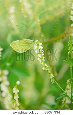 Butterfly On Melilotus Albus Flower