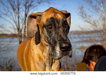 Great dane with blue background and owner