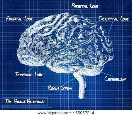 The human brain blueprint.