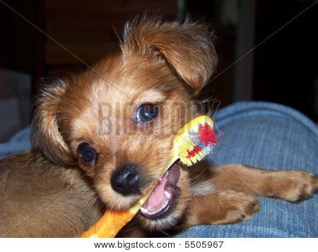 Yorkshire Terrier Dachshund