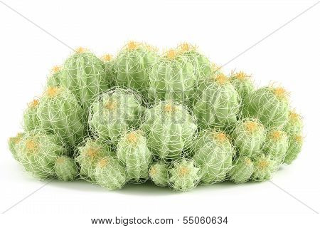 Plant bush isolated. Echinocereus triglochidiatus