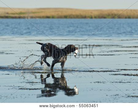 Dog Retreiving a duck