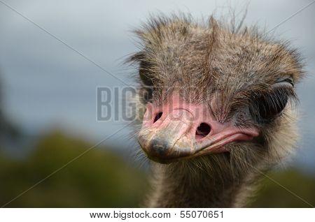 Friendly Ostrich