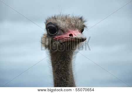 Ostrich And The Sky