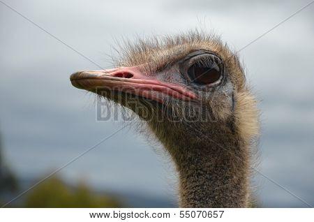 Ostrich Head Side View