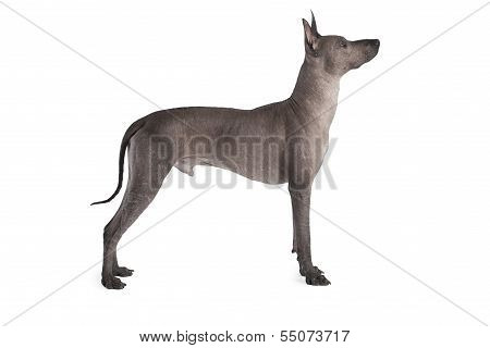 Male Dog. Mexican Xoloitzcuintle