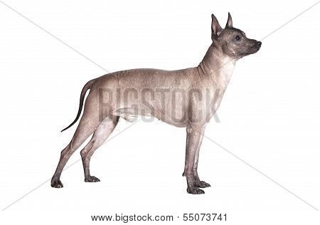 Mexican Xoloitzcuintle Male Dog Isolated On White