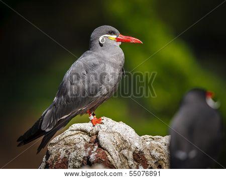 Colorful Inca Tern (larosterna Inca)