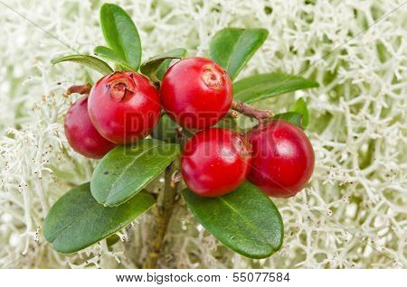 Cranberry Cowberry  bush close up on Moss Reindeer surface