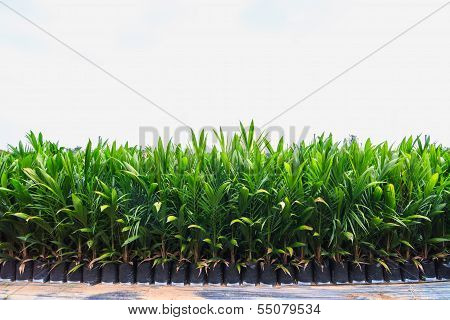 Palm oil plants