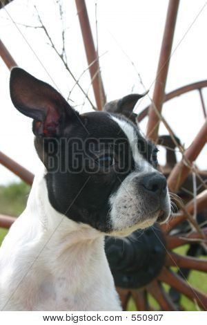 Boston Terrier In Front Of Wheel
