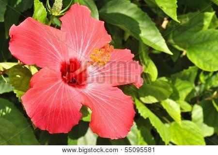 Rose of China flower