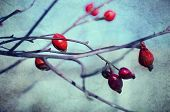 image of wild-brier  - Rosehip berries on the twig - JPG