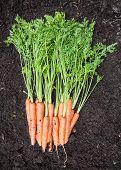 stock photo of rich soil  - Freshly harvested carrots on dark rich garden soil