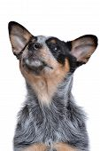 foto of blue heeler  - puppy looking up isolated on white background - JPG