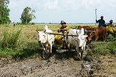 Buffalo Cart Transport Rice That Just Harvest