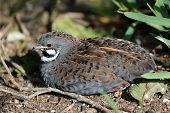 stock photo of quail  - Chinese Painted Quail with beautiful markings resting in the undergrowth - JPG