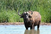 foto of cape buffalo  - Cape buffalo bull cooling off in a water hole in Africa - JPG