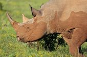 stock photo of rhino  - Rare Black Rhino from Africa eating on the green plants - JPG
