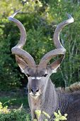 stock photo of antelope horn  - Kudu antelope with large spiralled horns in the African bush