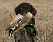 stock photo of duck-hunting  - A hunting dog with a drake Mallard