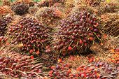 stock photo of biodiesel  - Bunch of oil palm seeds for production cooking oil or biodiesel oil - JPG