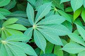 stock photo of cassava  - Cassava leaves in the farm taken as background - JPG