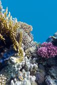 pic of fire coral  - coral reef with violet hard corals poccillopora at the bottom of tropical sea on blue water background - JPG