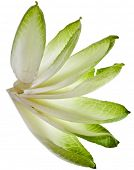 fresh endive chicory leaves isolated on a white background