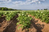 foto of potato-field  - Potatoes plants growing in a field in rural Prince Edward Island - JPG