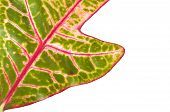 stock photo of croton  - Croton plant leaves isolated on a background - JPG