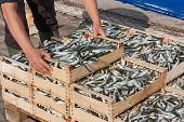 stock photo of crate  - mediterranean sardines - JPG