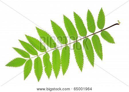 Rowan Sorbus aucuparia