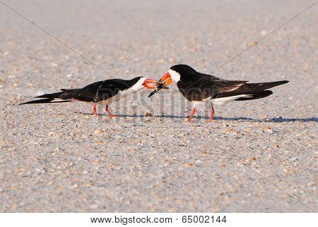 Black Skimmer Pair