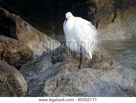 Fluffy Egret