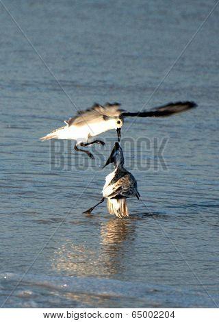 Sanderling Combat