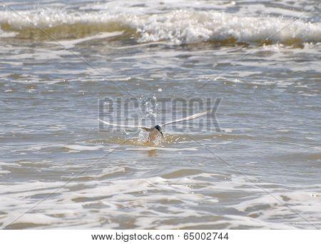 Common Tern Splashing Down