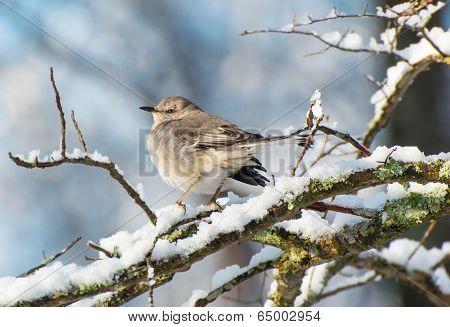 Snowy Branch Mockingbird