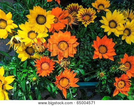 Bright colored flowering Gazania, also known as treasure flower